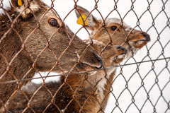 Three deer are waiting for the food. Royalty Free Stock Photography