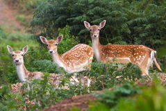 Three Deer Watching. Three young fallow deer hinds watching what is going on Royalty Free Stock Photography