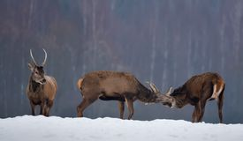 Three Deer In Winter: Two Young Deer Males Fighting, And The Third Watching Them. Two Red Deer Stag Are Fighting At Snowy Field. royalty free stock photo