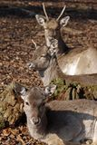 Three deers Stock Image