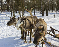 Three deers Stock Photography