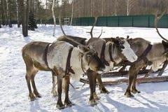Three deers Stock Images
