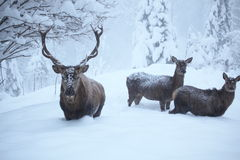 Three deers. With many snow in nature Stock Photo
