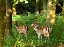 Three deers in the forest Royalty Free Stock Photo
