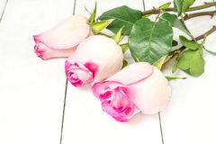 Three delicate pink roses Royalty Free Stock Photography