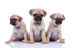 Three depressed pug puppies looking down. On white background Royalty Free Stock Photos