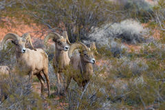 Three Desert Bighorn Rams. A group of desert bighorn sheep rams in Nevada Stock Photo