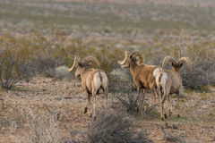 Three Desert Bighorn Sheep Rams. A herd of desert bighorn sheep rams in Nevada Stock Photography