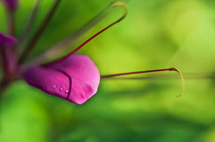 Three dew drops on beautiful pink petal of  spider flower Royalty Free Stock Photography