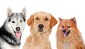 Three different adult dogs Royalty Free Stock Image