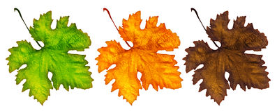 Three different autumn leaves Stock Image