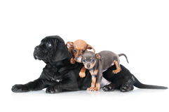 Three different breed puppies together Stock Photography