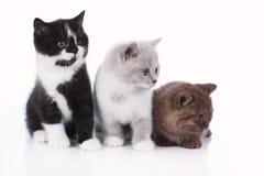 Three different british short hair kitten isolated Stock Photo