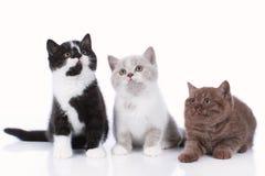Three different british short hair kitten isolated Royalty Free Stock Photo