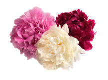 Three different color peonies Royalty Free Stock Photography