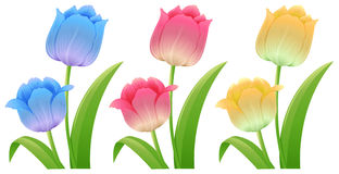 Three different colors of tulips Stock Image