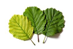 Three different coloured leaves Royalty Free Stock Photo