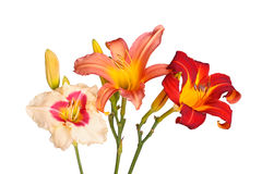 Three different daylily flowers isolated royalty free stock images