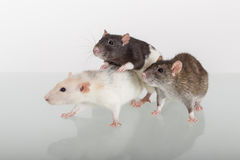 Three different domestic rats Royalty Free Stock Photos