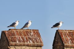 Three different gulls standing on a crenellation. Three gulls belonging to different species, left to right: yellow-legged gull (Larus michahellis), caspian gull Stock Images