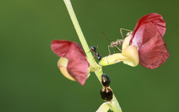 Three different insects vying for flower. Ant, shield bug and mating beetles vying for red flower's attention Royalty Free Stock Photography