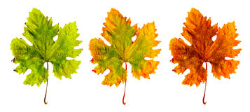 Three different leaf Royalty Free Stock Image
