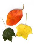Three different leaves. Isolated stock photos