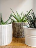 Three different succulent plants in pots indoor stock image