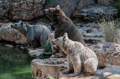 Three different types of bear bear family Stock Image
