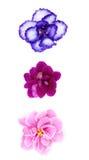 Three different violets Stock Photo