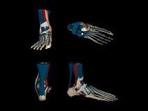 Three-dimensional anatomical model of human foot i Stock Images