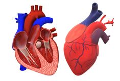A pair of human hearts isolated - one full one sectional view. A three dimensional computer generated illustration image of a pair of human hearts isolated - one vector illustration