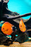 Three discus fish Stock Images