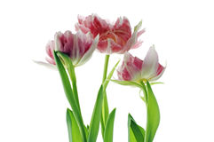 Three dismissed tulips Royalty Free Stock Photography
