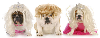 Three divas. English bulldogs with sour expressions wearing female clothing on white background Stock Photo