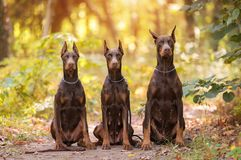 Three Doberman Pincher relaxing in the park. Three Doberman Pincher relaxing in the autumn park royalty free stock images