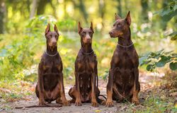 Three Doberman Pincher relaxing in the park. Three Doberman Pincher relaxing in the autumn park Royalty Free Stock Photography