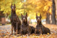 Three Doberman Pincher relaxing in the park. Three Doberman Pincher relaxing in the autumn park Royalty Free Stock Photo