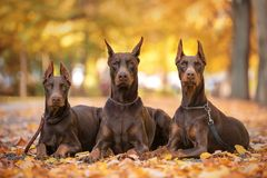 Three Doberman Pincher relaxing in the park Royalty Free Stock Images