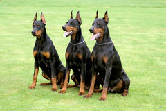 Three dobermans. Three black dobermans sitting on the grass stock photography