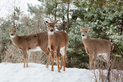 Three Does in Winter Royalty Free Stock Images