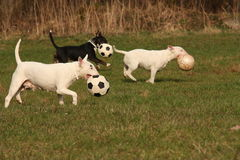 Three dog. Runs on meadow Stock Images