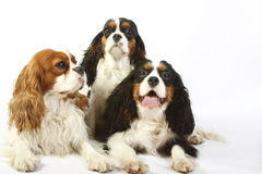 Three dog breeds Cavalier king charles spaniel Royalty Free Stock Photos