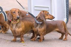 Typical Dachshund Close-up royalty free stock image