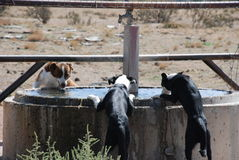 Three Dog Drink. Three dogs drink at the stock tank, watering hole Royalty Free Stock Photography