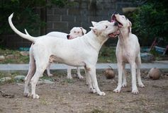 Three Dogo Argentino dogs playing outdoors at the yard. In summer royalty free stock images