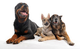 Three dogs. Three purebred dogs: a rottweiler, an old malinois and a puppy slovakia wolf dog Stock Image