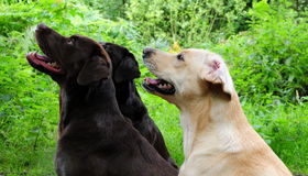 Three dogs. Shot of three obedient labrador dogs outdoors Royalty Free Stock Photography