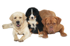 Three dogs. Labrador retriever, Bern sheepdog and mastiff on a white background Stock Photography