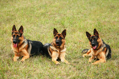 Three dogs Stock Images